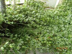 Jiaogulan gynostemma ziele nieśmiertelności duża